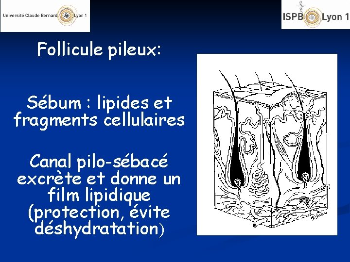 Follicule pileux: Sébum : lipides et fragments cellulaires Canal pilo-sébacé excrète et donne un