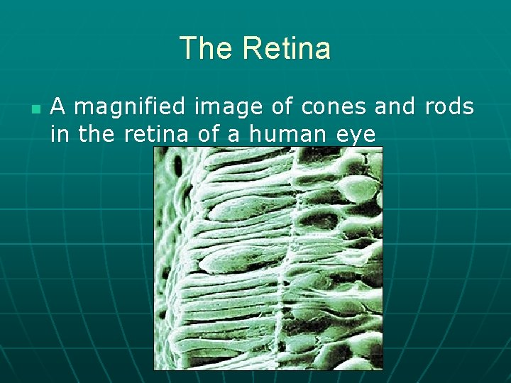 The Retina n A magnified image of cones and rods in the retina of