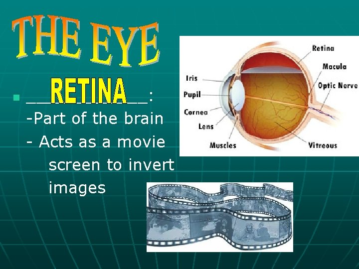 n ______: -Part of the brain - Acts as a movie screen to invert