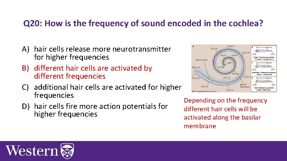 Q 20: How is the frequency of sound encoded in the cochlea? A) hair