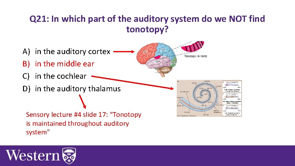 Q 21: In which part of the auditory system do we NOT find tonotopy?