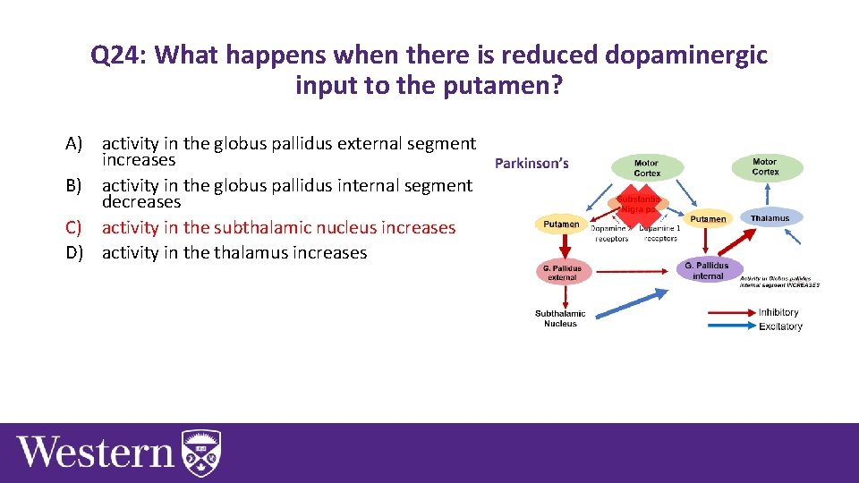 Q 24: What happens when there is reduced dopaminergic input to the putamen? A)
