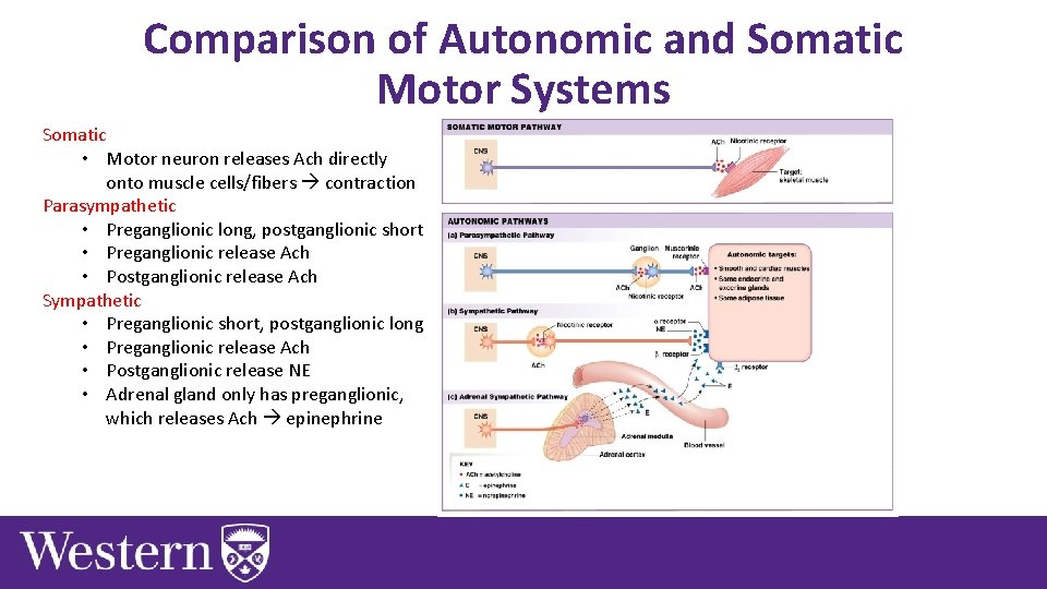 Comparison of Autonomic and Somatic Motor Systems Somatic • Motor neuron releases Ach directly