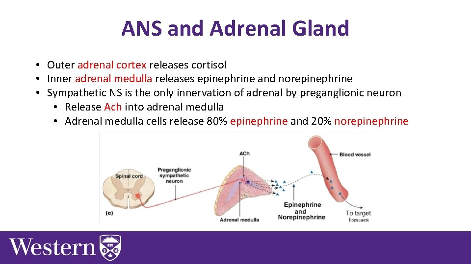 ANS and Adrenal Gland • Outer adrenal cortex releases cortisol • Inner adrenal medulla