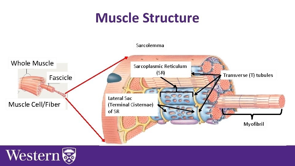 Muscle Structure Sarcolemma Whole Muscle Fascicle Muscle Cell/Fiber Sarcoplasmic Reticulum (SR) Transverse (T) tubules