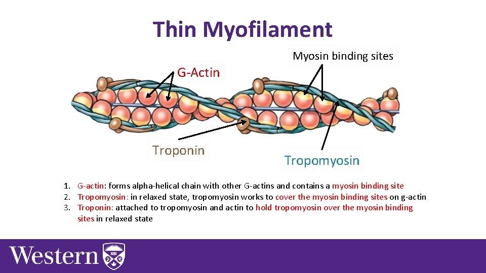 Thin Myofilament Myosin binding sites G-Actin Troponin Tropomyosin 1. G-actin: forms alpha-helical chain with
