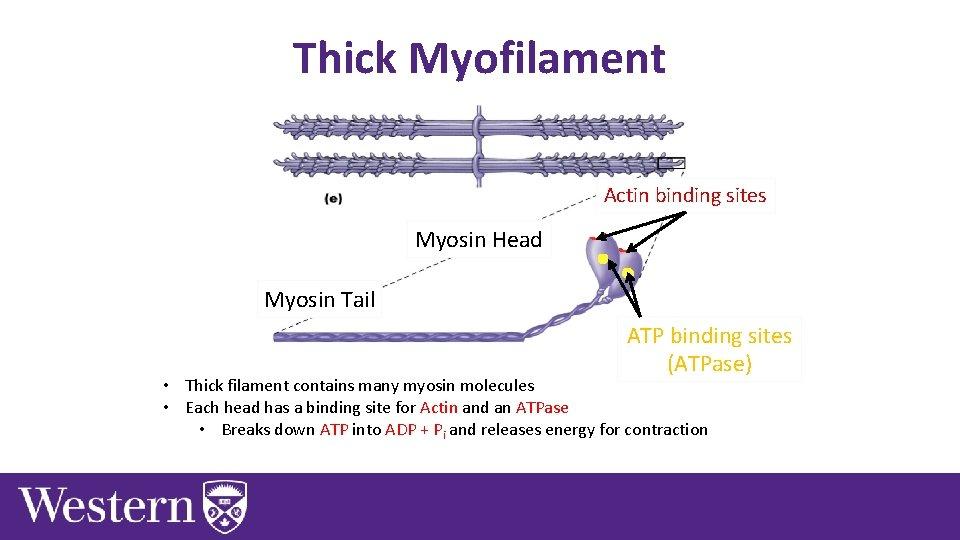 Thick Myofilament Actin binding sites Myosin Head Myosin Tail ATP binding sites (ATPase) •