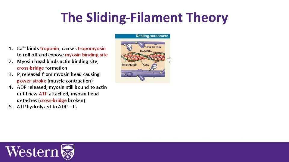 The Sliding-Filament Theory 1. Ca 2+ binds troponin, causes tropomyosin to roll off and