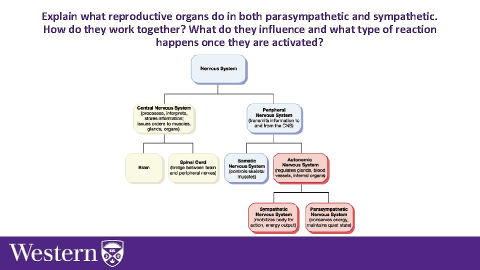 Explain what reproductive organs do in both parasympathetic and sympathetic. How do they work