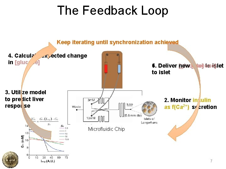 The Feedback Loop Keep iterating until synchronization achieved 4. Calculate expected change in [glucose]