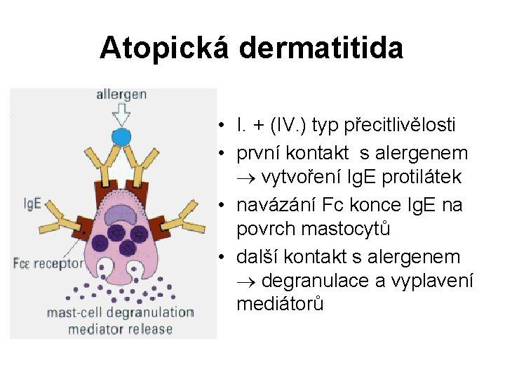 Atopická dermatitida • I. + (IV. ) typ přecitlivělosti • první kontakt s alergenem