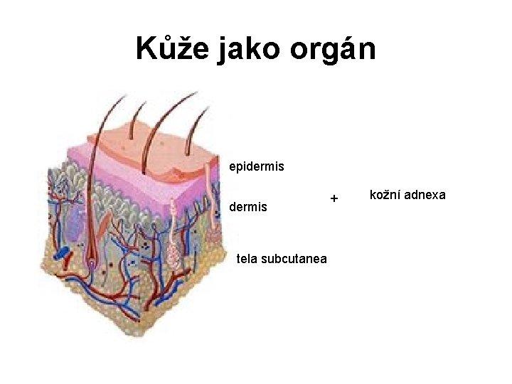 Kůže jako orgán epidermis tela subcutanea + kožní adnexa