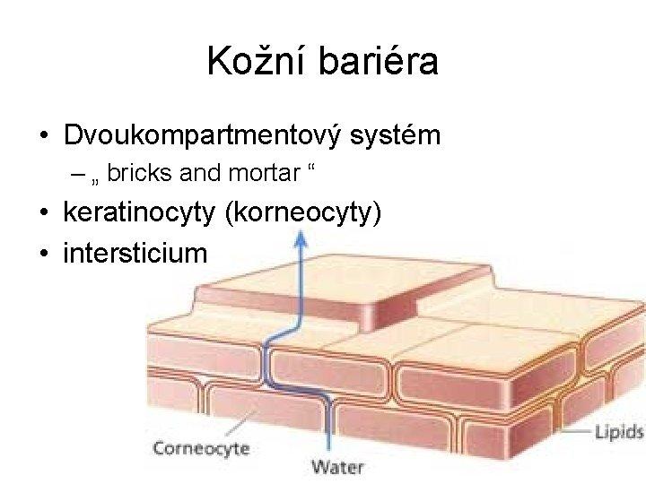 "Kožní bariéra • Dvoukompartmentový systém – "" bricks and mortar "" • keratinocyty (korneocyty)"