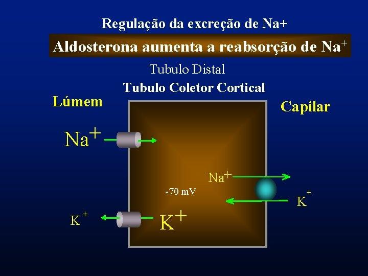 Regulação da excreção de Na+ Aldosterona aumenta a reabsorção de Na+ Lúmem Tubulo Distal