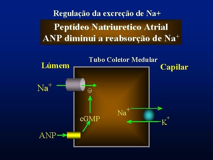 Regulação da excreção de Na+ Peptídeo Natriuretico Atrial ANP diminui a reabsorção de Na+