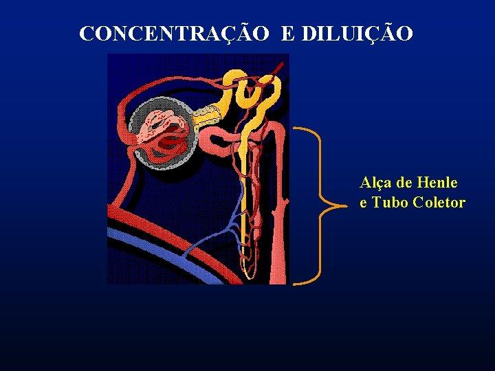 CONCENTRAÇÃO E DILUIÇÃO Alça de Henle e Tubo Coletor