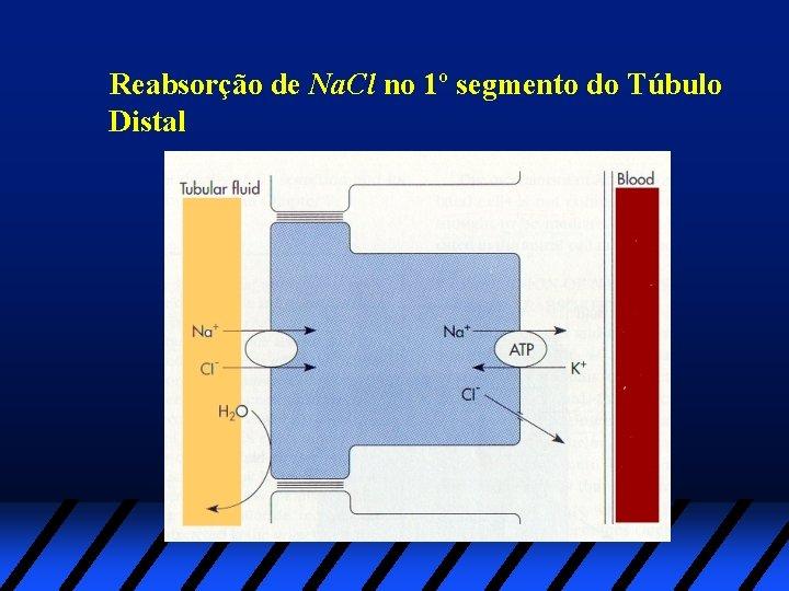 Reabsorção de Na. Cl no 1º segmento do Túbulo Distal