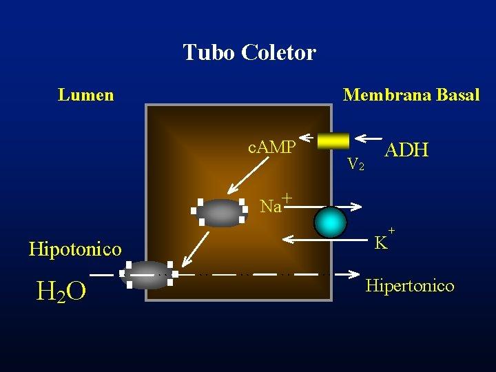 Tubo Coletor Lumen Membrana Basal c. AMP V 2 ADH Na+ Hipotonico H 2
