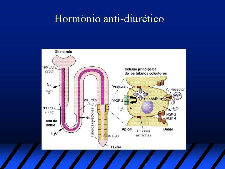 Hormônio anti-diurético
