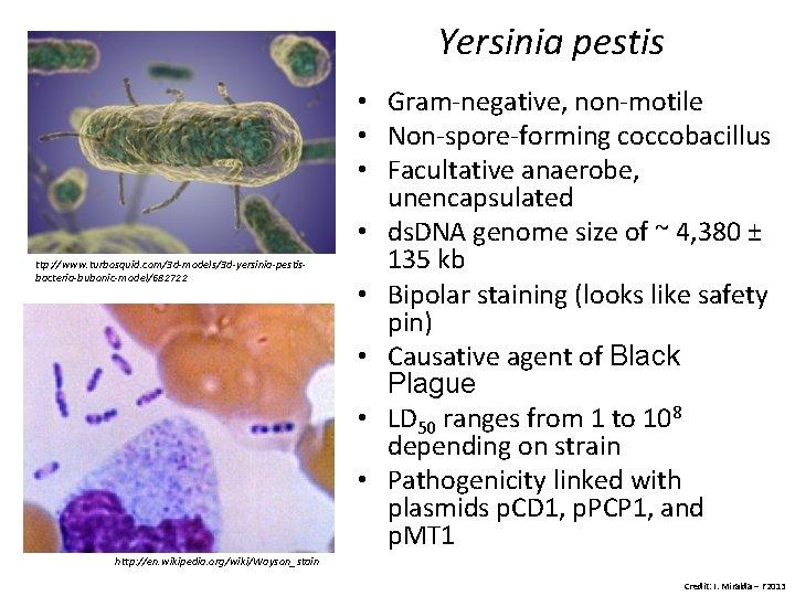 Yersinia pestis ttp: //www. turbosquid. com/3 d-models/3 d-yersinia-pestisbacteria-bubonic-model/682722 • Gram-negative, non-motile • Non-spore-forming coccobacillus