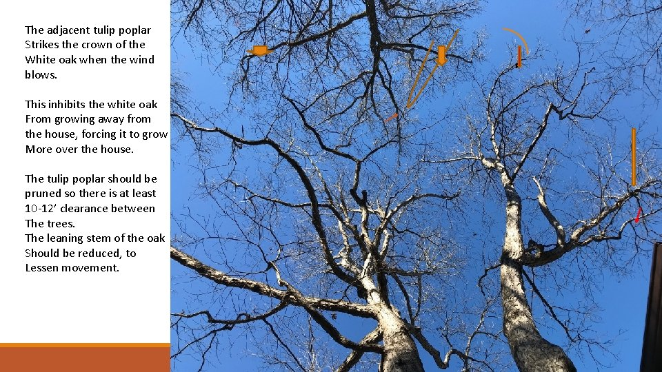 The adjacent tulip poplar Strikes the crown of the White oak when the wind
