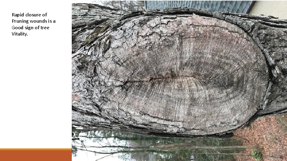 Rapid closure of Pruning wounds is a Good sign of tree Vitality.