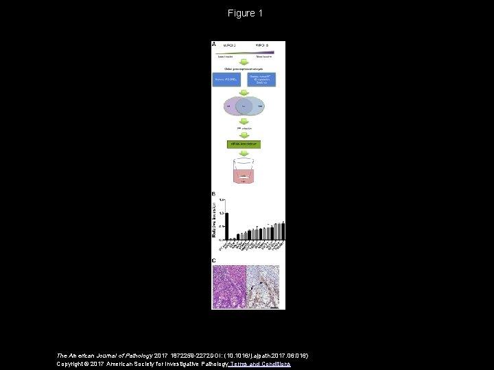 Figure 1 The American Journal of Pathology 2017 1872259 -2272 DOI: (10. 1016/j. ajpath.