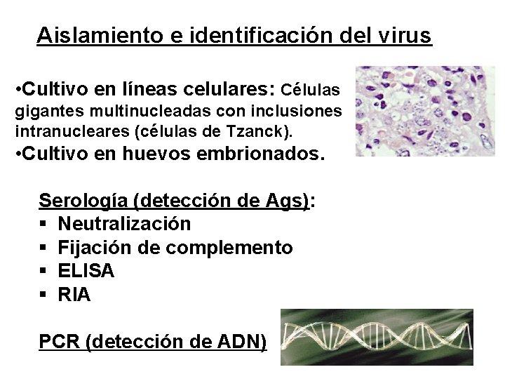 Aislamiento e identificación del virus • Cultivo en líneas celulares: Células gigantes multinucleadas con