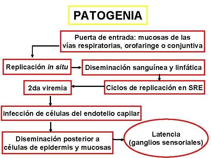 PATOGENIA Puerta de entrada: mucosas de las vías respiratorias, orofaringe o conjuntiva Replicación in