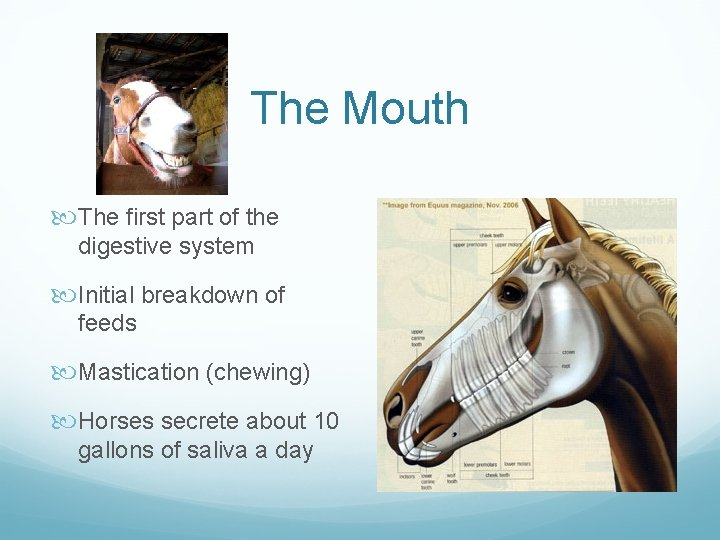 The Mouth The first part of the digestive system Initial breakdown of feeds Mastication