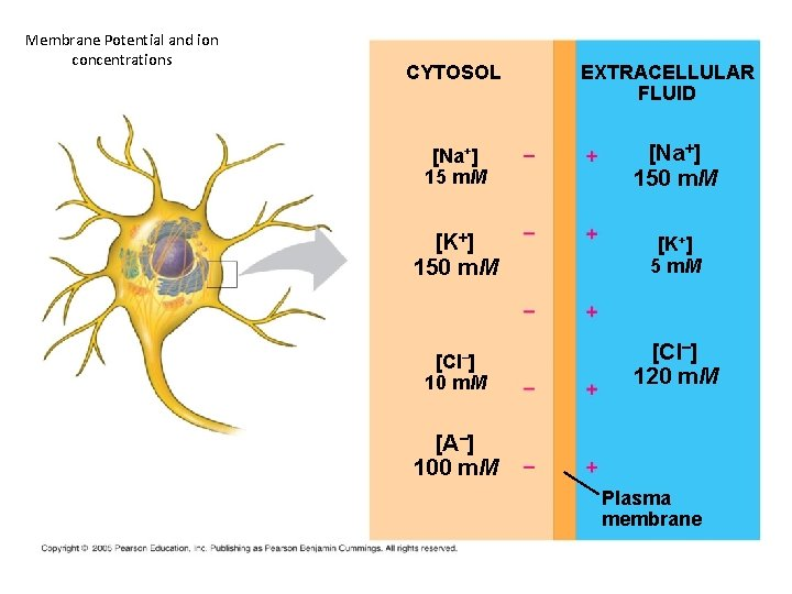 Membrane Potential and ion concentrations CYTOSOL EXTRACELLULAR FLUID [Na+] 15 m. M [Na+] 150