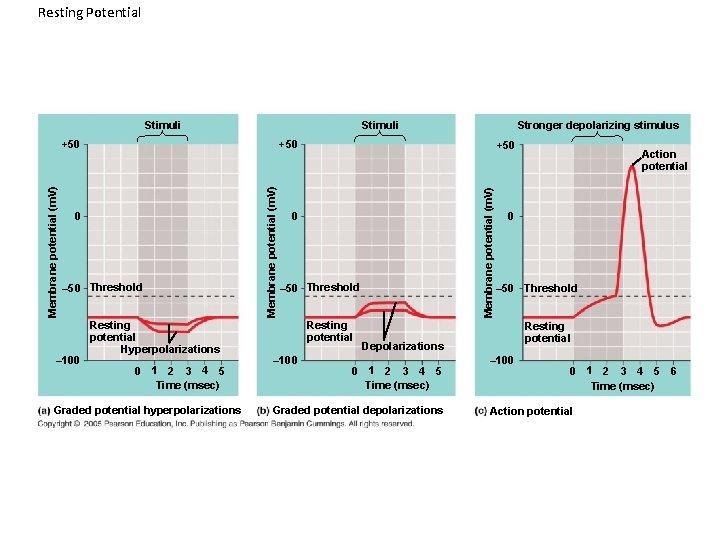 Resting Potential Stimuli +50 – 50 Threshold Resting potential Hyperpolarizations 0 1 2 3