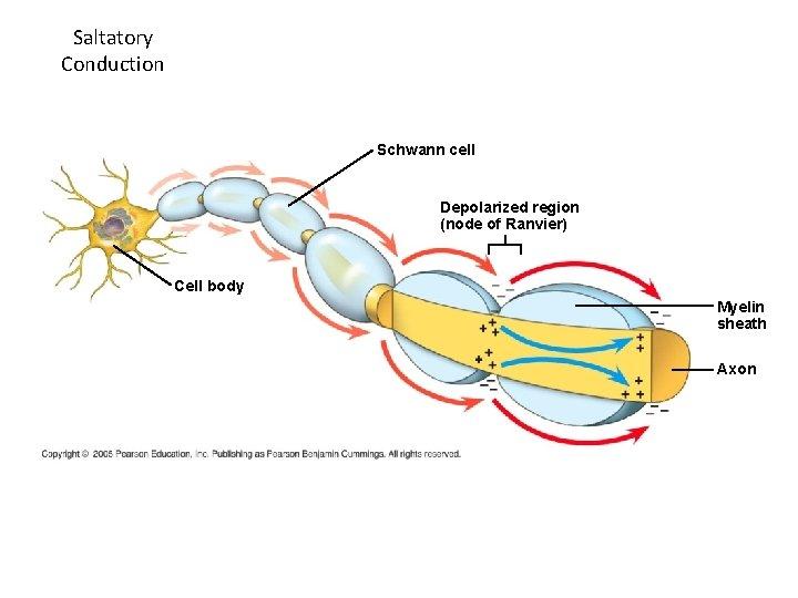 Saltatory Conduction Schwann cell Depolarized region (node of Ranvier) Cell body Myelin sheath Axon