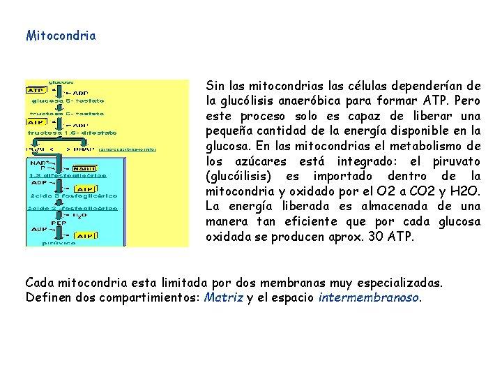 Mitocondria Sin las mitocondrias las células dependerían de la glucólisis anaeróbica para formar ATP.