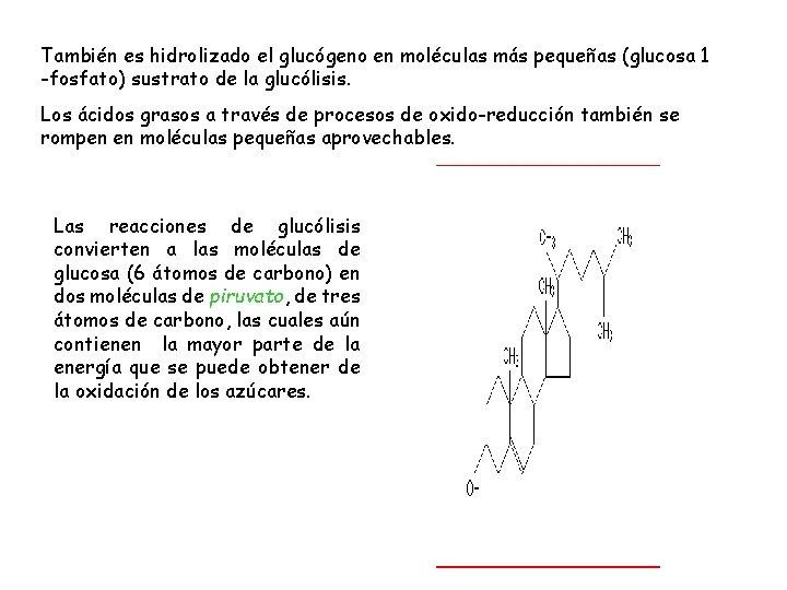 También es hidrolizado el glucógeno en moléculas más pequeñas (glucosa 1 -fosfato) sustrato de