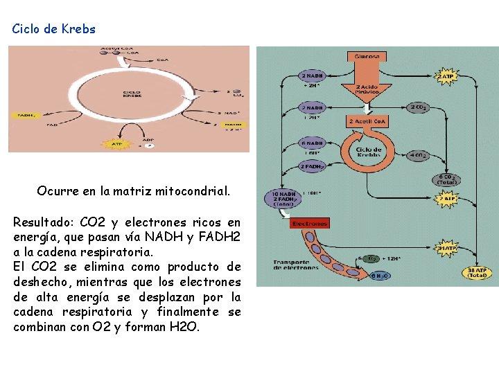 Ciclo de Krebs Ocurre en la matriz mitocondrial. Resultado: CO 2 y electrones ricos