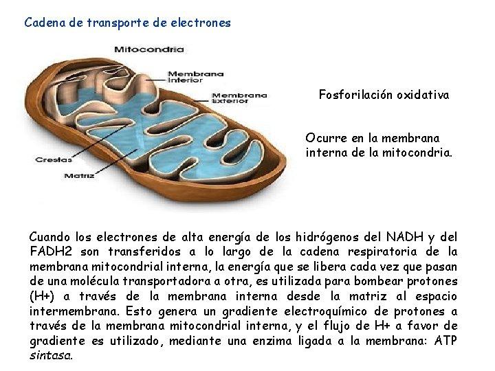 Cadena de transporte de electrones Fosforilación oxidativa Ocurre en la membrana interna de la