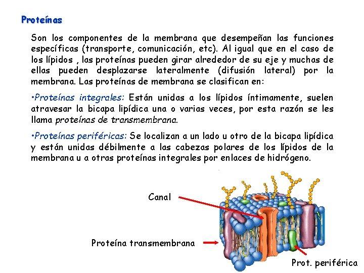 Proteínas Son los componentes de la membrana que desempeñan las funciones específicas (transporte, comunicación,