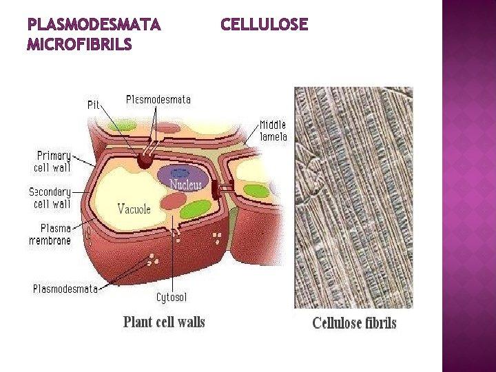 PLASMODESMATA MICROFIBRILS CELLULOSE