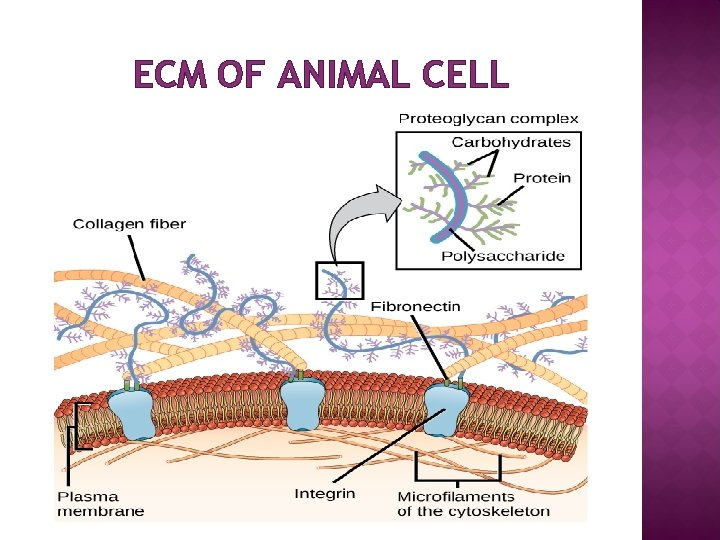 ECM OF ANIMAL CELL