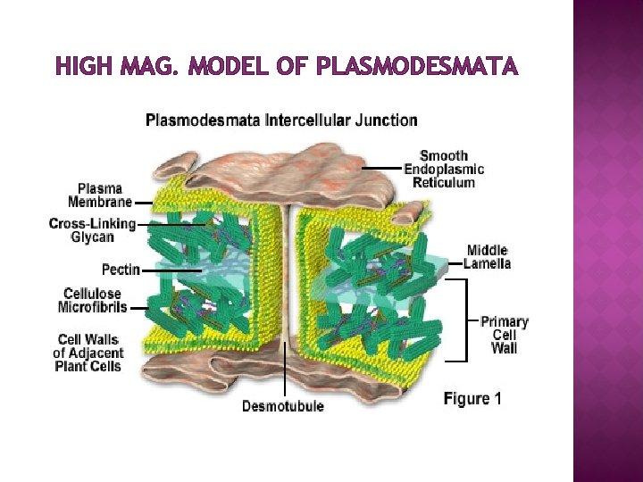 HIGH MAG. MODEL OF PLASMODESMATA