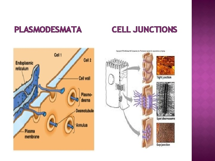 PLASMODESMATA CELL JUNCTIONS