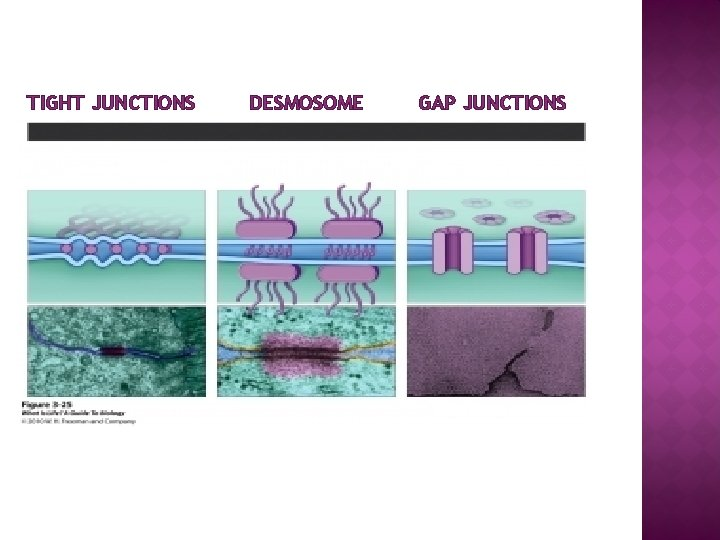 TIGHT JUNCTIONS DESMOSOME GAP JUNCTIONS