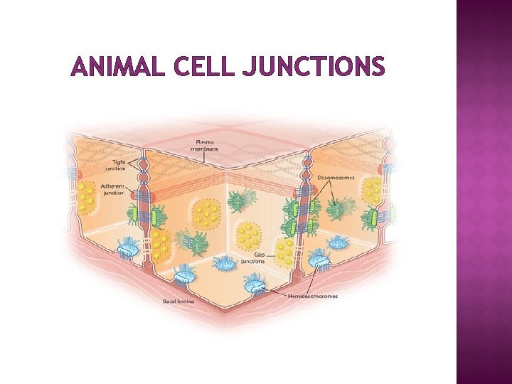 ANIMAL CELL JUNCTIONS