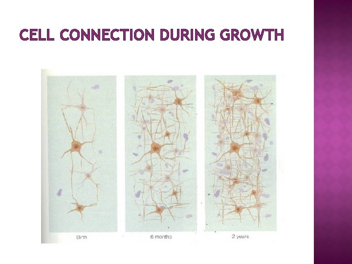 CELL CONNECTION DURING GROWTH