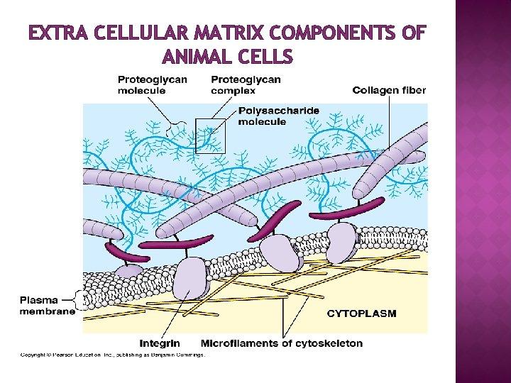 EXTRA CELLULAR MATRIX COMPONENTS OF ANIMAL CELLS