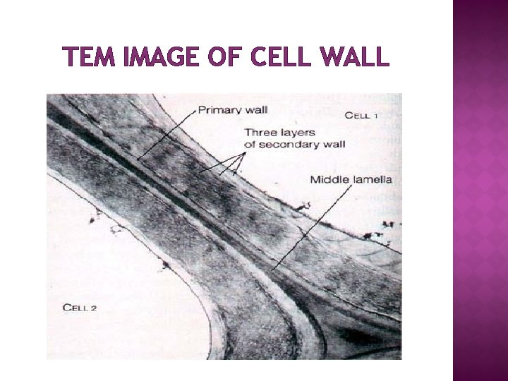 TEM IMAGE OF CELL WALL