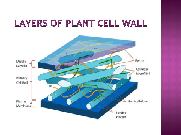 LAYERS OF PLANT CELL WALL