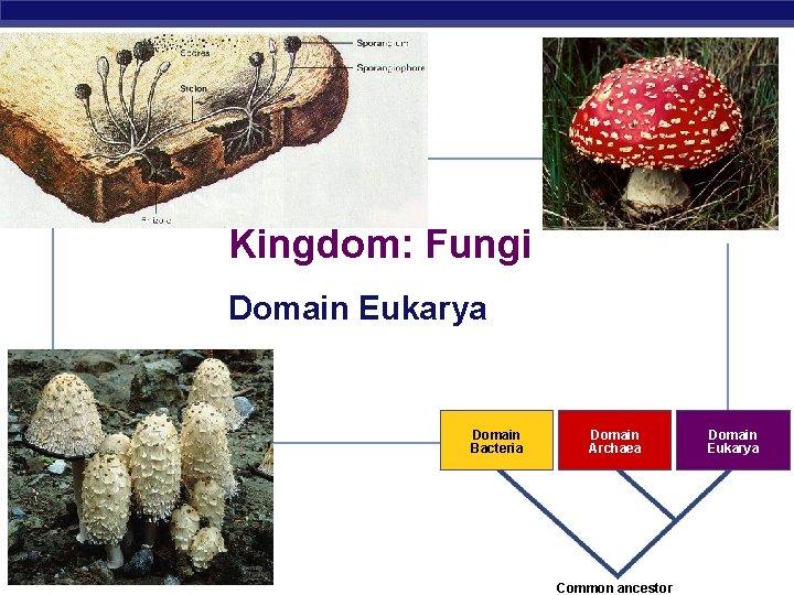 Kingdom: Fungi Domain Eukarya Domain Bacteria AP Biology Domain Archaea Domain Eukarya 2007 -2008
