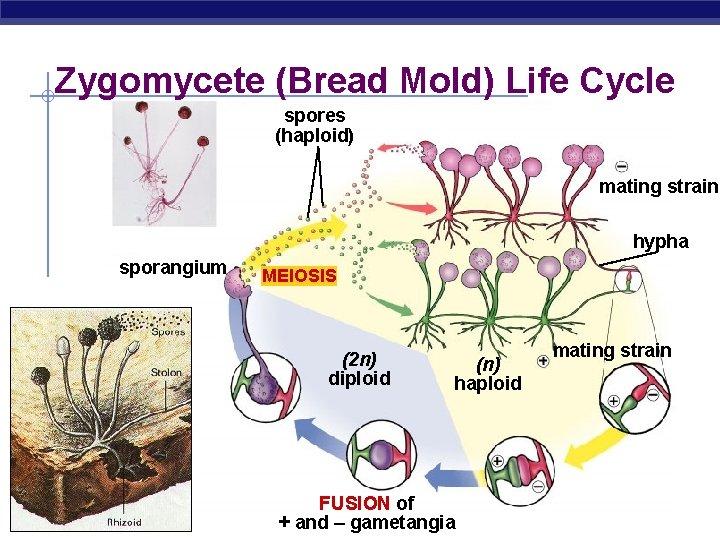 Zygomycete (Bread Mold) Life Cycle spores (haploid) mating strain hypha sporangium MEIOSIS (2 n)